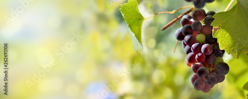 panoramic view on one black grape growing in foliage lighting by the sun Fototapeta