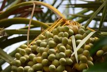 Dates Sweet Fruit Close Up . Ramadan Food Unripen Date Palm Tree. Hanging On Plant Garden Nature