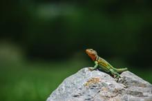 Collared Lizard (Crotaphytus Collaris)