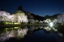 風土記の丘 しだれ桜
