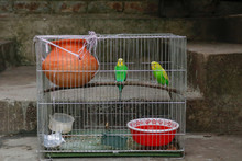 Two Budgerigar Bird In A Cage ...