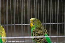 Yellow Budgerigar Bird In A Ca...