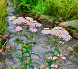 Fototapeta Tęcza - Yarrow is a very common plant in the Urals. In summer, the village people collect it, dry it and use it as a medicine.