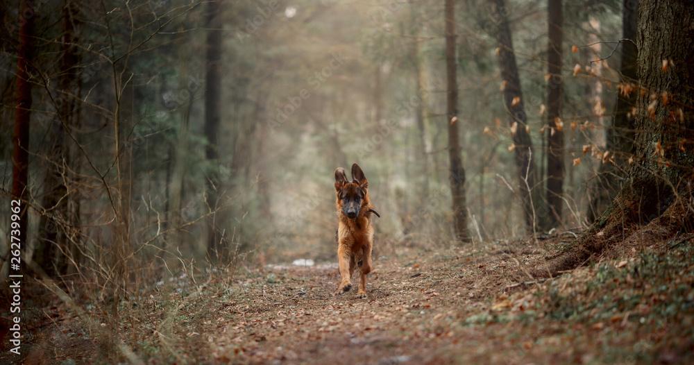 Fototapety, obrazy: German shepherd  at early morning