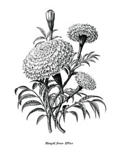Marigold Flower Hand Draw Vintage Style Black And White Clip Art Isolated On White Background