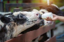Calf Feeding, Baby Cow Feeding On Milk Bottle By Hand Of Woman, Dairy Farm.