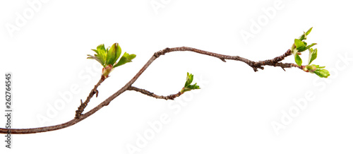 Fotografia, Obraz A branch of currant bush with young leaves on an isolated white background