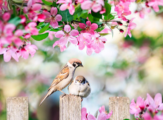 Fototapetabeautiful natural background with a bird sparrow with a little chick sitting on a wooden fence in a rustic garden in o winding pink apple flowers on a sunny day in spring