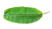 Banana Leaf Isolated On White Background (clipping Path) In For Tropical Natural Plant Tree Leaves Template Flat Lay Top View