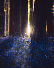 Sunrise In A Bluebell Forest W...