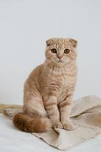 Scottish Fold Cat Sitting On L...
