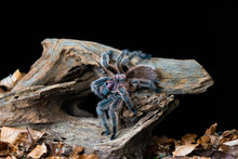 Chilean Hair Rose Tarantula (G...