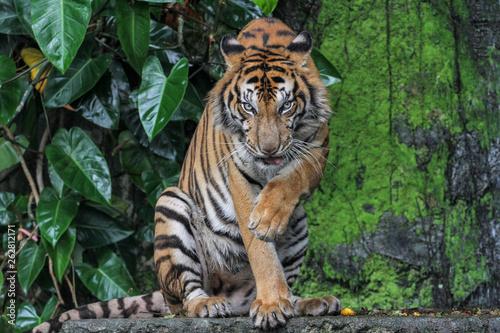 Naklejki tygrys   jezyk-pokazowy-tygrysa-to-usiadz
