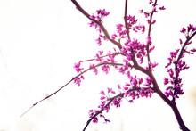 Branch Of Cherry Tree