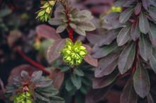 Close Up On A Euphorbia Amygda...