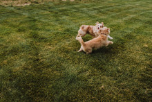 Two Little Dogs Playing Together Outside