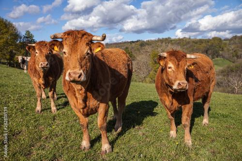 Papiers peints Vache Allassac (Corrèze - France) - Vaches limousines dans leur paturage