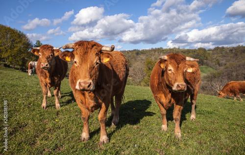 Vache Allassac (Corrèze - France) - Vaches limousines dans leur paturage