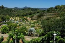 Vineyard In Glen Ellen California USA
