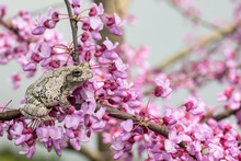 Gray Tree Frog In A Blooming Eastern Redbud Tree - Hyla Versicolor
