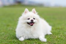 White Pomeranian Dog At Green Lawn Park
