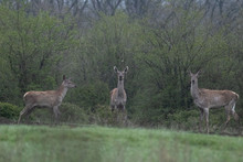 Three Deer Standing In A Forest. Two Of Them Are Looking At The Camera. Grass And Trees Are Green.