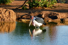 Marabou Stork Mirrored In Waterhole,Kruger National Park,South Africa