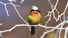 White Fronted Bee Eater,Kruger National Park,South Africa