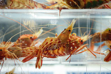 Live Shrimp In A Tank At A Kor...
