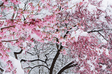 Snow Covered Cherry Blossoms. New York City.