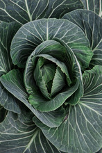 Close-up Of A Cabbage Plant.