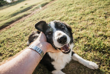 Patting A Family Pet Border Collie Sheep Dog