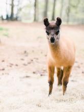 Brown Baby Llama Looking At Camera