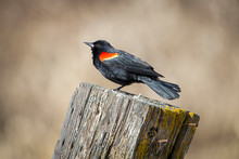 Adult Red Winged Blackbird On ...