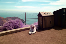 Stuffed Tiger Sitting Next To A Trash Can Above The Golden Gate Bridge.
