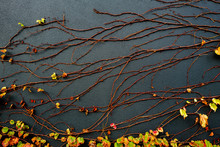 Deciduous Vine On A Black Wall...