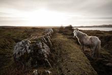 Irish Pony On The Moor