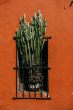 Tall Green Cactus In The Window