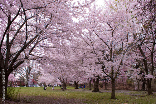 Poster Rose clair / pale Bright and beautiful colors of cherry blossom in full bloom during spring