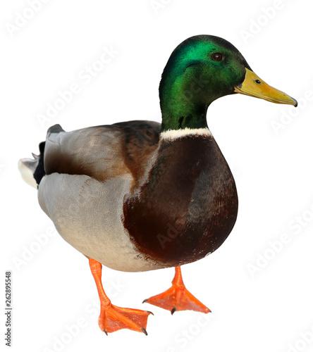 Fototapeta Mallard Duck with clipping path