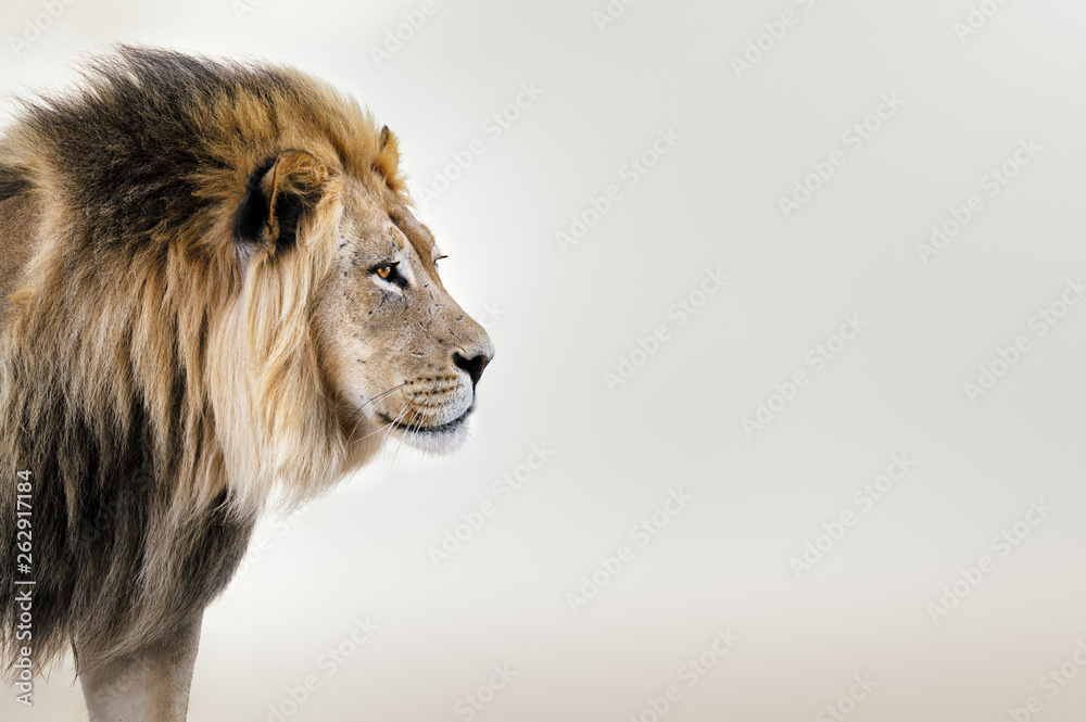 Fototapeta Male lion from the Kgalagadi desert facial portrait in fine art. Panthera leo