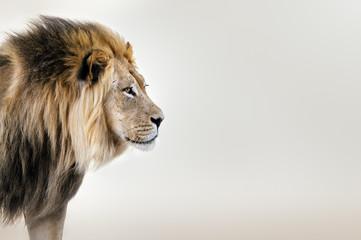 Muški lav s portreta lica pustinje Kgalagadi u likovnoj umjetnosti. Panthera leo