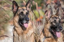 Two German Shepherd Dogs Looki...