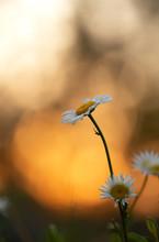 Blooming Oxeye Daisy, Leucanthemum Vulgare In Sunset