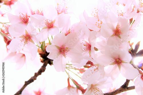 桜 Canvas Print
