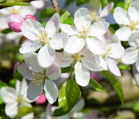 FototapetaEin Blütenmeer aus Apfelblüten im Sonnenschein