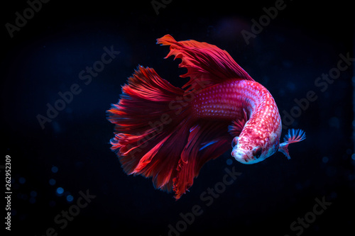 siamese fighting fish isolated on black