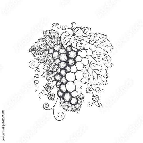 Grape. Grape bunch and vine hand drawn vector illustration. Fototapete