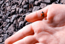 Ladybird Crawling On A Child`s...