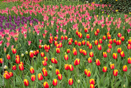 Fotografia, Obraz  colorful tulips flowers blooming in a garden